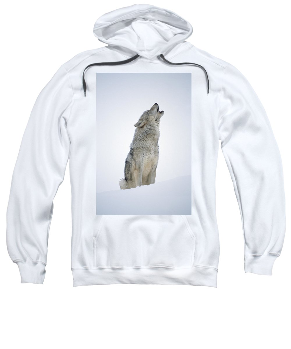 00174271 Sweatshirt featuring the photograph Timber Wolf Portrait Howling In Snow by Tim Fitzharris