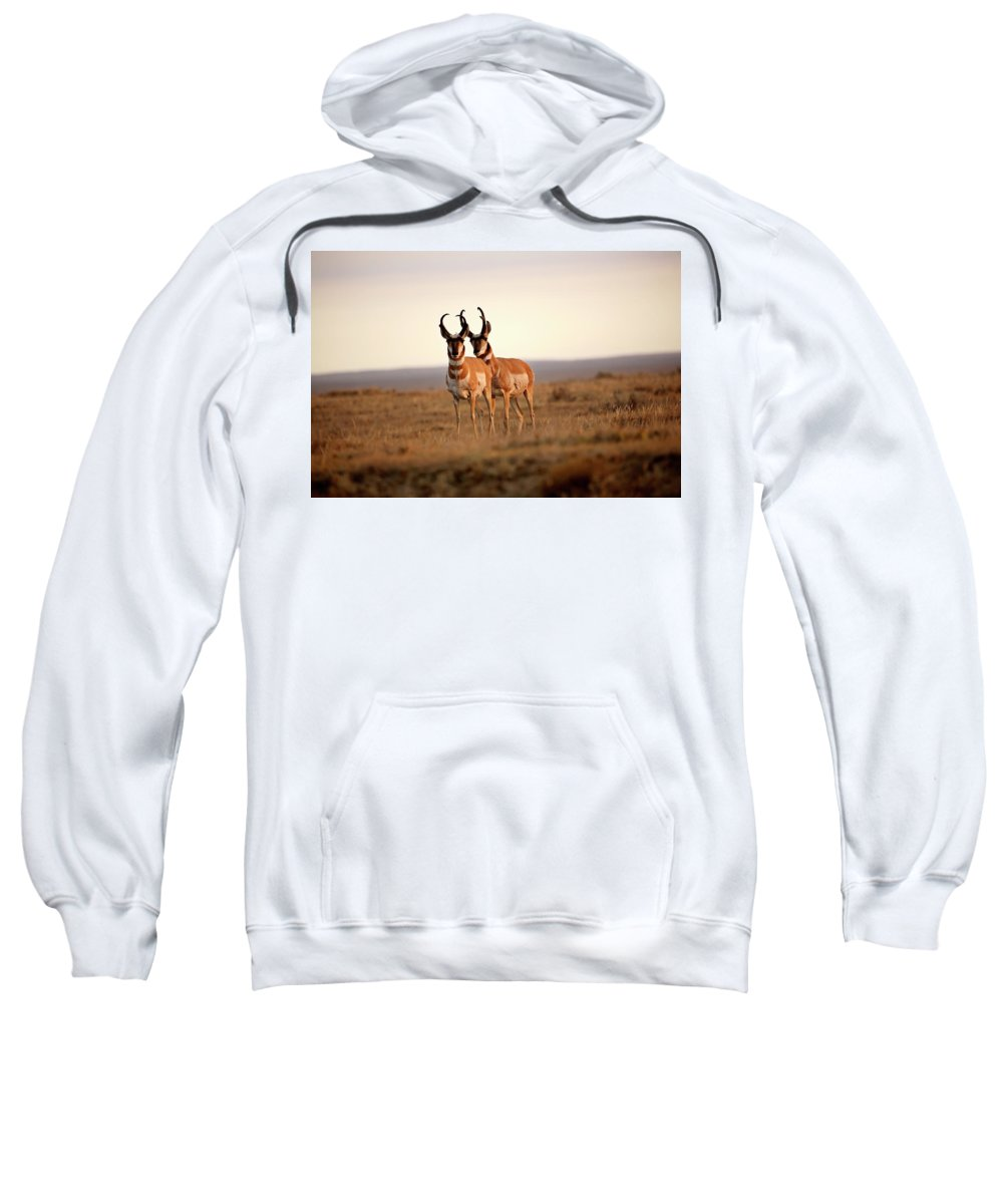 Pronghorn Antelope Sweatshirt featuring the digital art Two Male Pronghorn Antelopes In Alberta by Mark Duffy