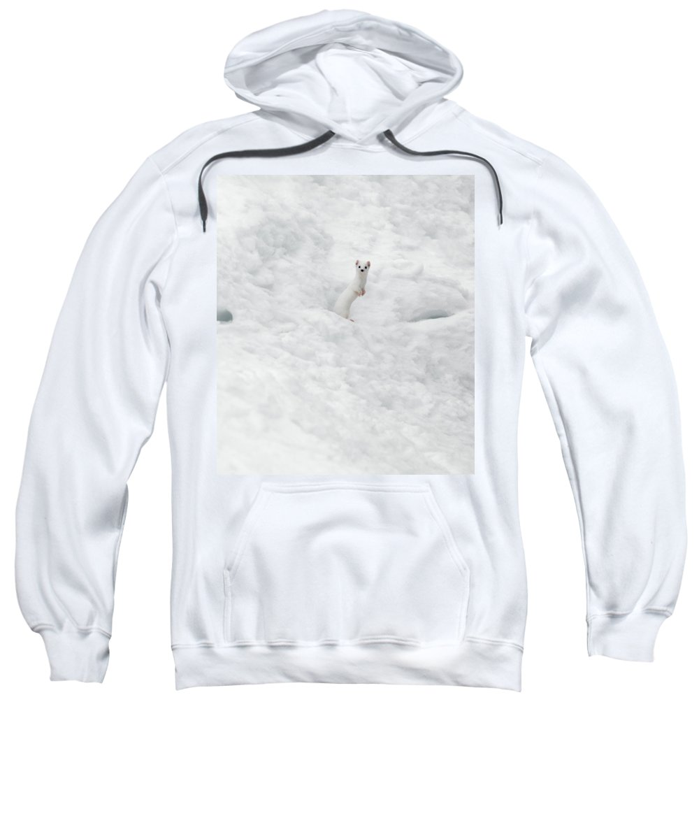 White Weasel Sweatshirt featuring the photograph White Ermine 2 by Leland D Howard