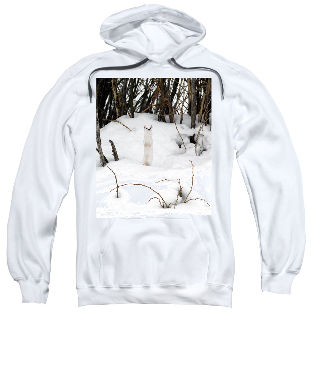 White Weasel Sweatshirt featuring the photograph White Ermine by Leland D Howard
