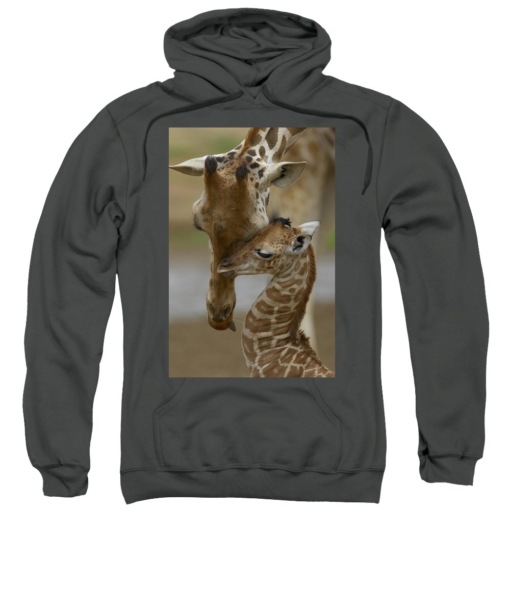00119300 Sweatshirt featuring the photograph Rothschild Giraffes Nuzzling by San Diego Zoo