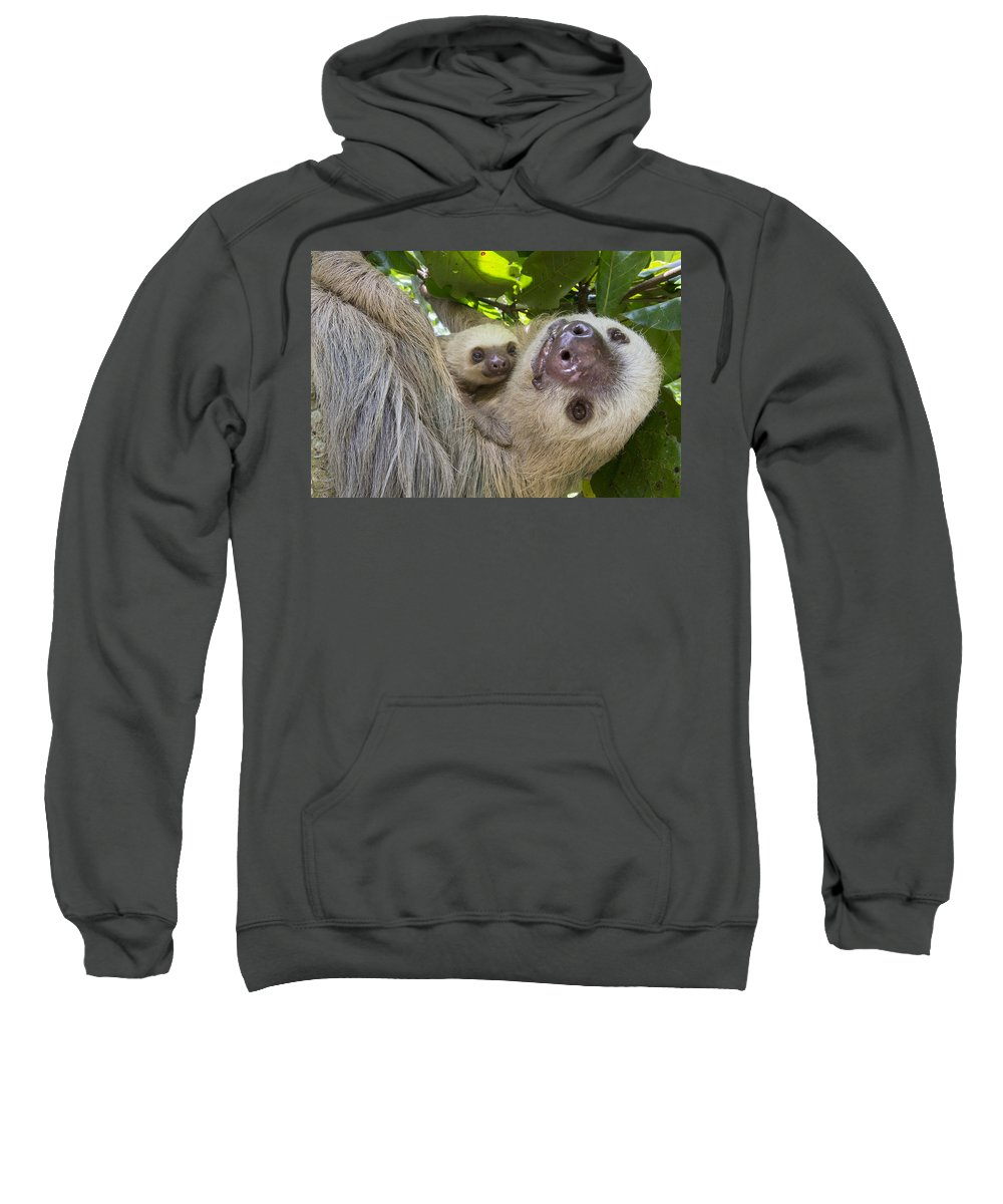 Suzi Eszterhas Sweatshirt featuring the photograph Hoffmanns Two-toed Sloth And Old Baby by Suzi Eszterhas