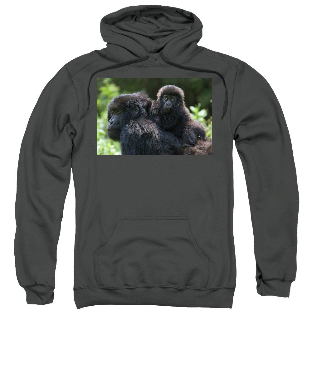 Mp Sweatshirt featuring the photograph Mountain Gorilla And Infant by Suzi Eszterhas
