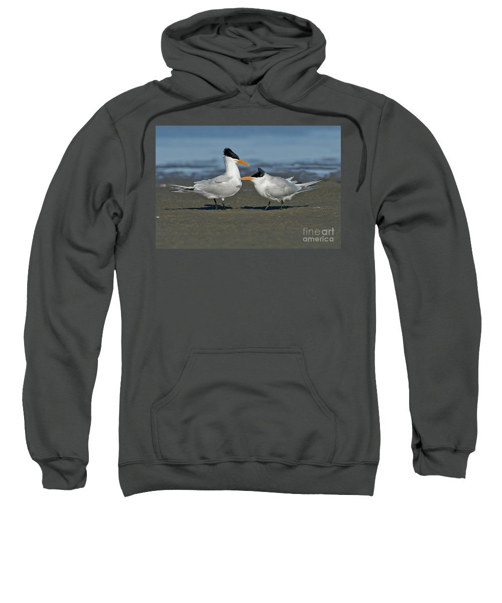 Royal Tern Sweatshirt featuring the photograph Royal Terns by Anthony Mercieca