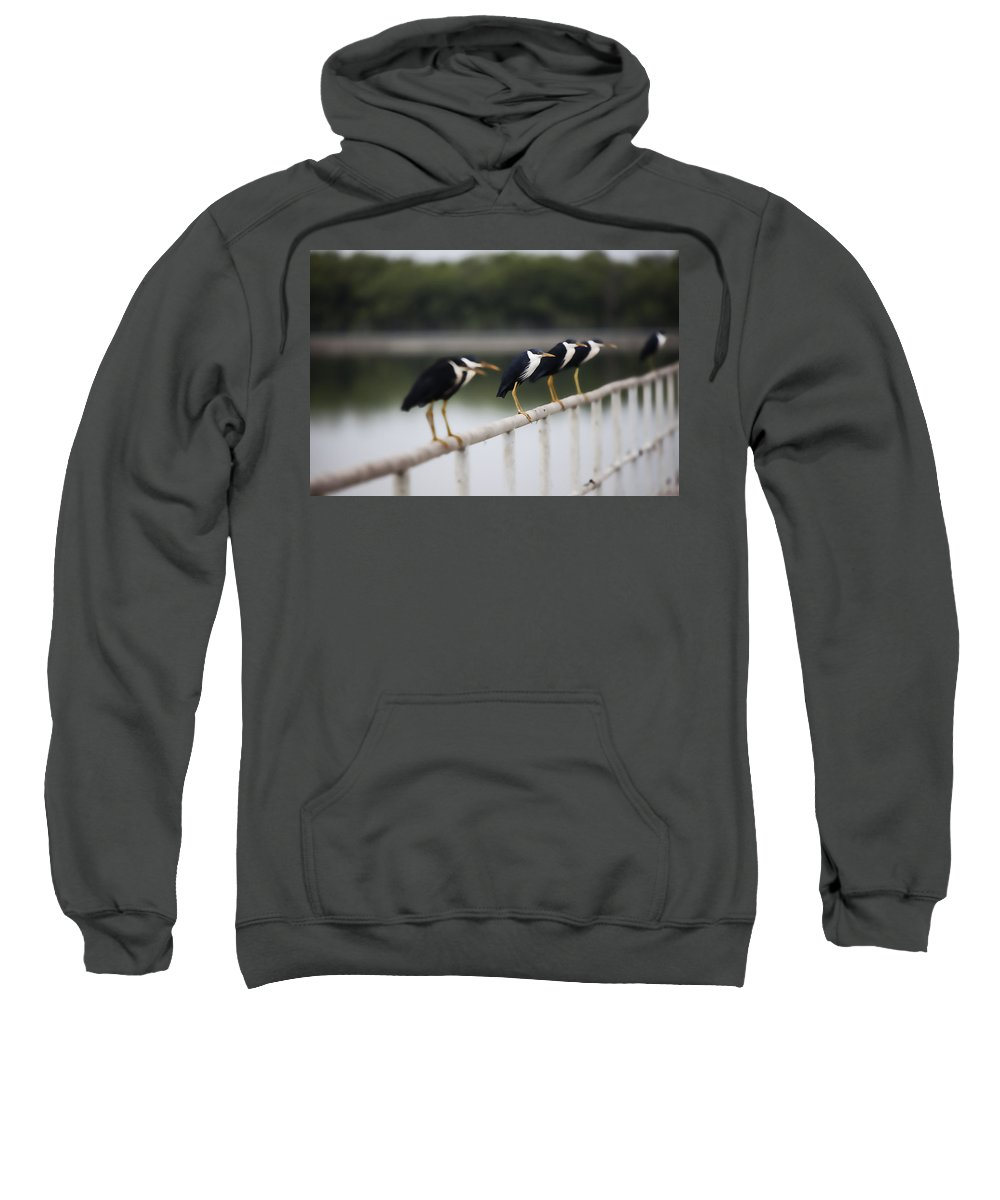 Pied-heron Sweatshirt featuring the photograph 6 In A Row by Douglas Barnard