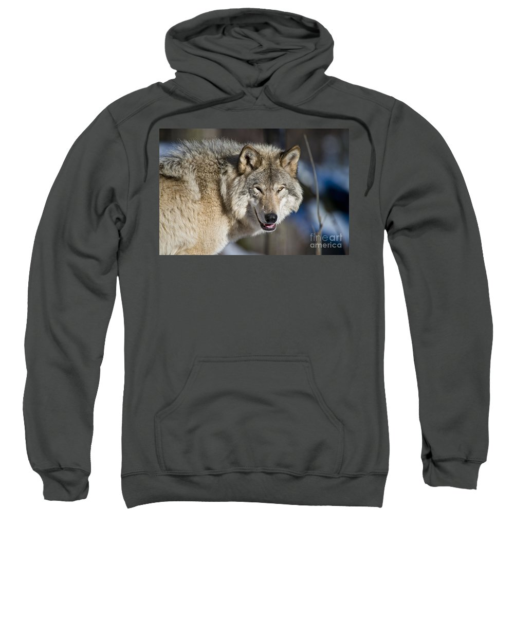 Timber Wolf Photography Sweatshirt featuring the photograph Timber Wolf Pictures by Wolves Only