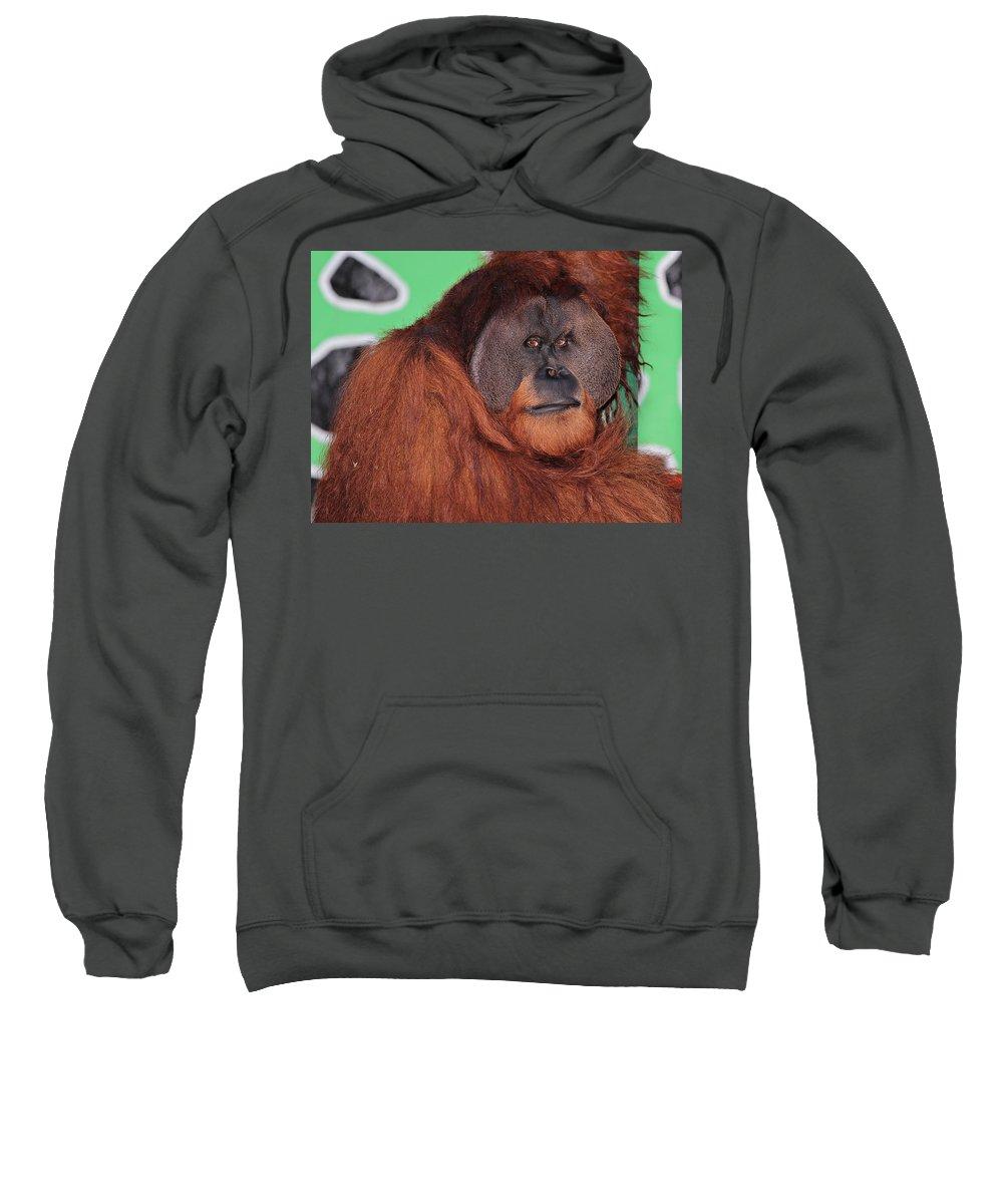 Animal Sweatshirt featuring the photograph Portrait Of A Large Male Orangutan by Paul Fell