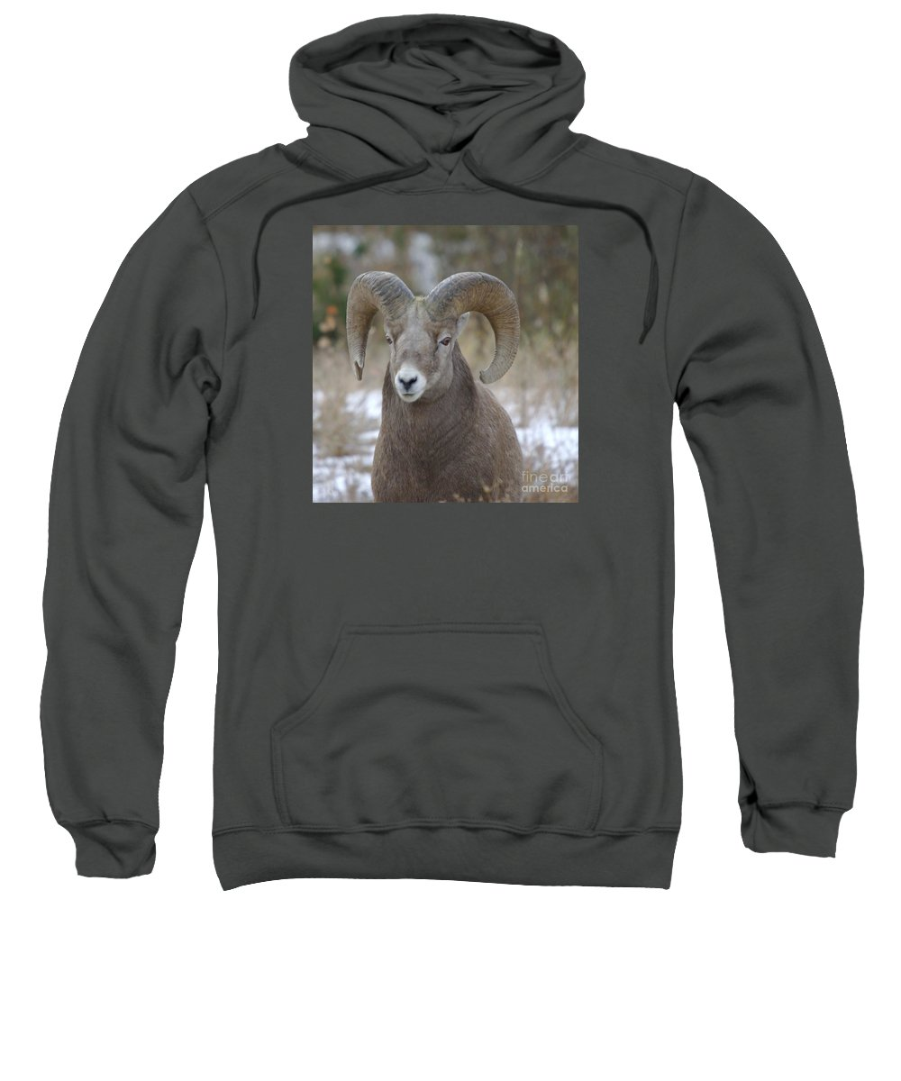 Big Horn Sheep Sweatshirt featuring the photograph A Big Big Horn Ram by Jeff Swan