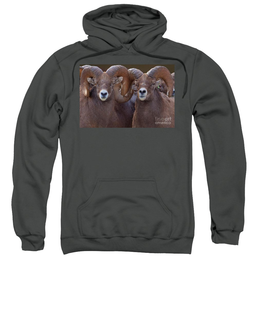 Bighorn Ram Sweatshirt featuring the photograph All Eyes by James Anderson