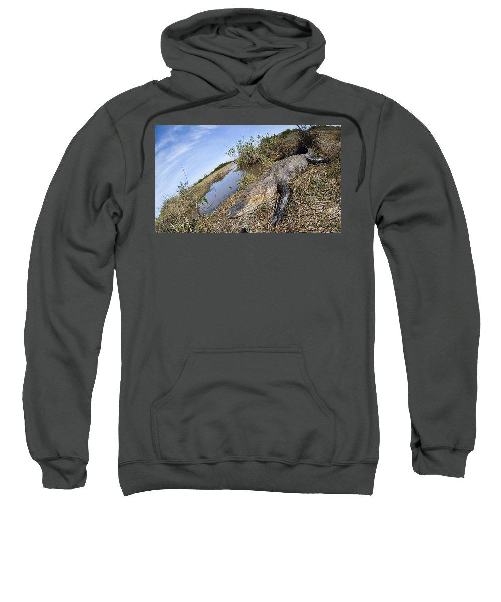 Alligator Sweatshirt featuring the photograph Alligator In Everglades by Alex Potemkin