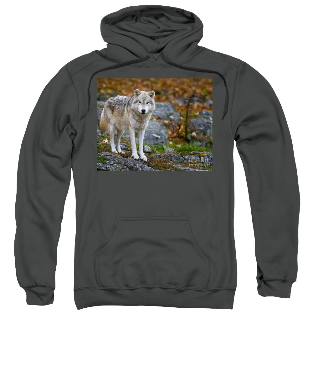 Arctic Wolf Sweatshirt featuring the photograph Arctic Wolf Pictures 942 by World Wildlife Photography