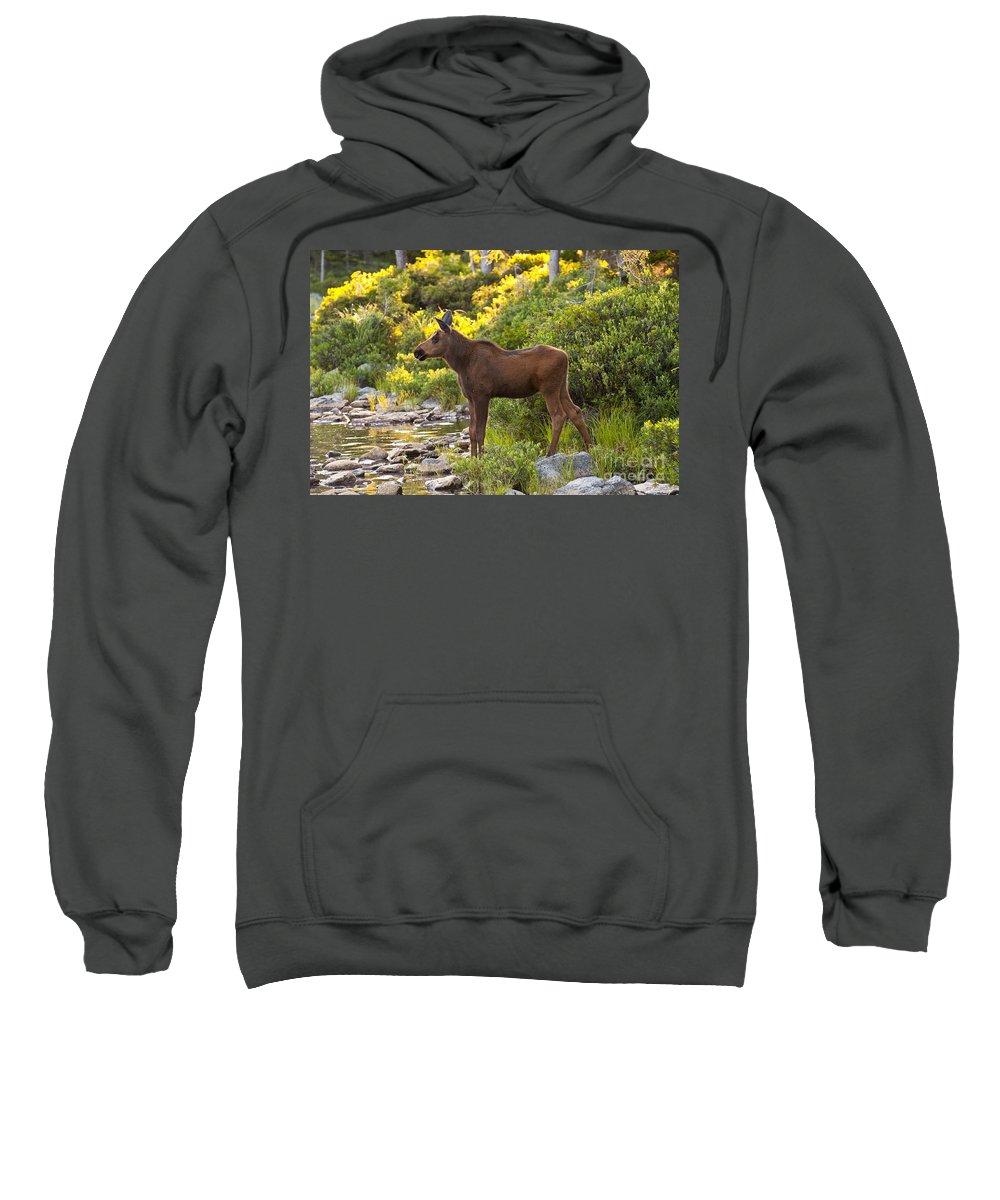 Moose Sweatshirt featuring the photograph Baby Moose Baxter State Park by Glenn Gordon