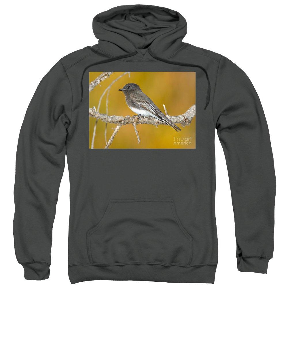 Fauna Sweatshirt featuring the photograph Black Phoebe Sayornis Nigricans by Anthony Mercieca