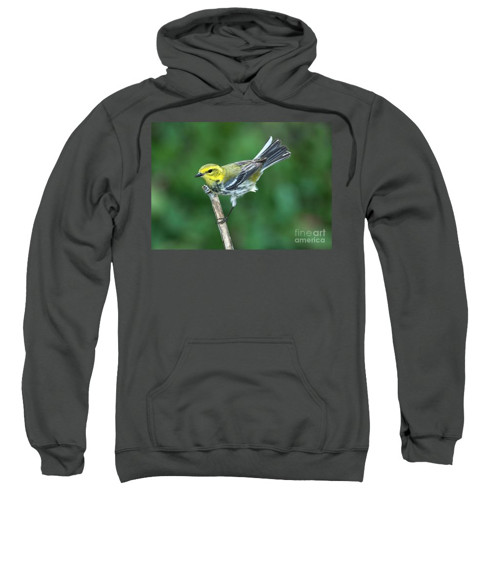 Fauna Sweatshirt featuring the photograph Black-throated Green Warbler, Female by Anthony Mercieca
