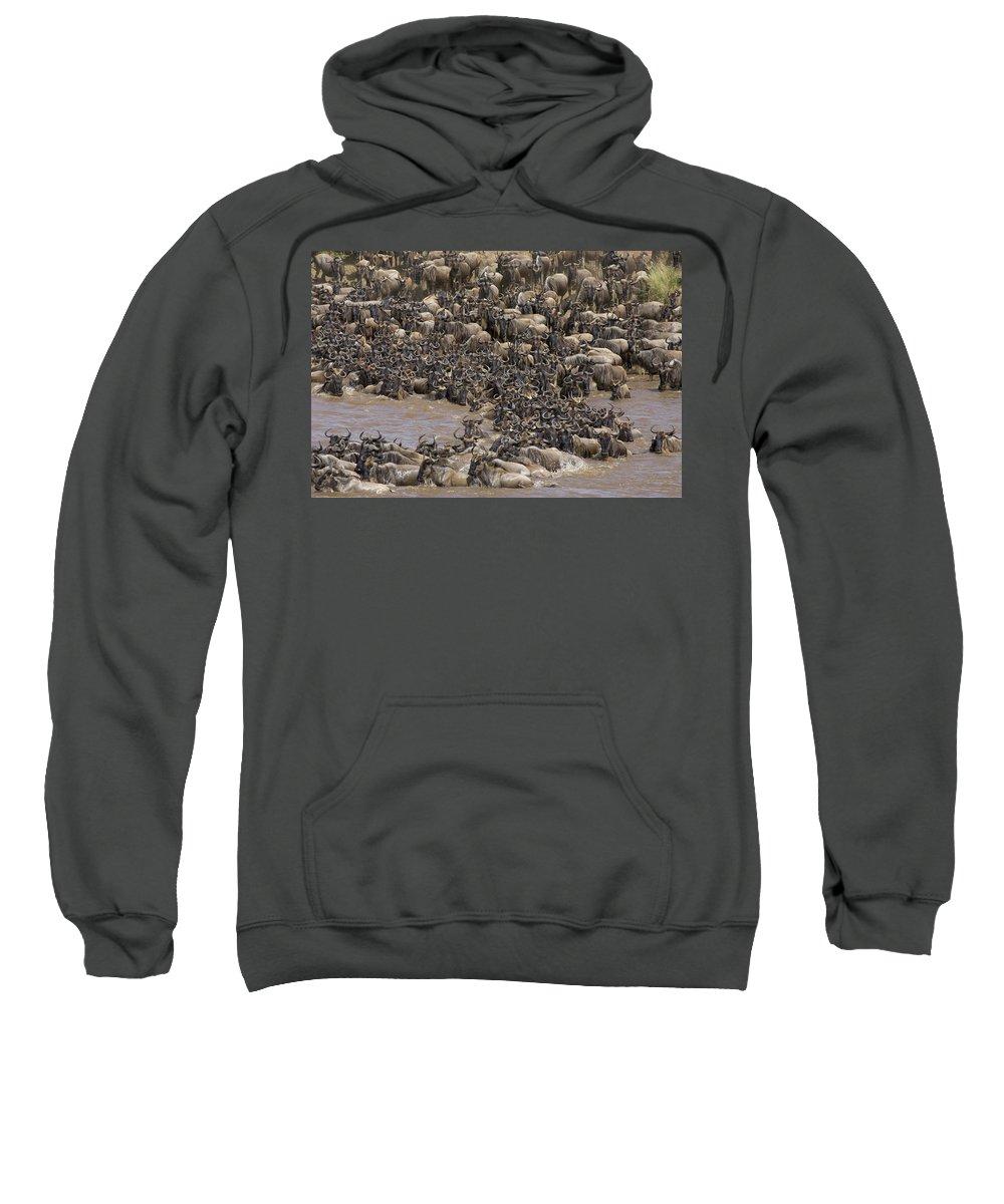 Blue Wildebeest Sweatshirt featuring the photograph Blue Wildebeest Migration by Suzi Eszterhas
