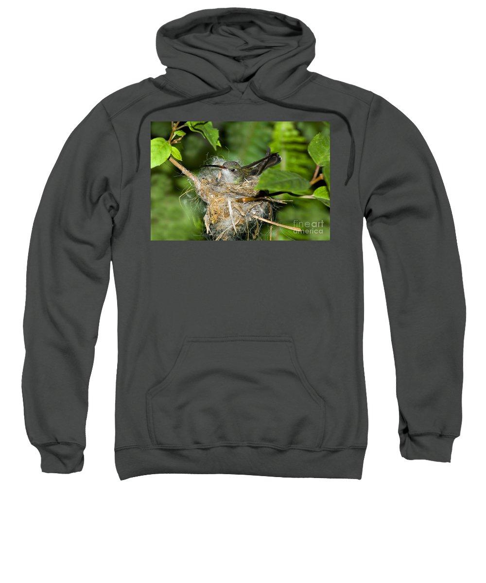 Cynanthus Latirostris Sweatshirt featuring the photograph Broad-billed Hummingbird In Nest by Anthony Mercieca