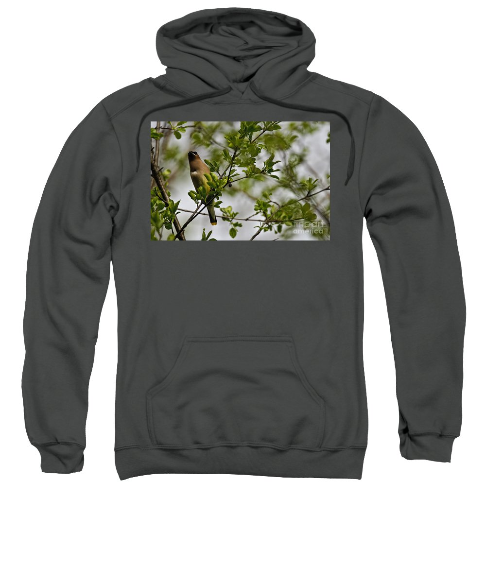 Cedar Waxwing Sweatshirt featuring the photograph Cedar Waxwing Pictures 15 by World Wildlife Photography