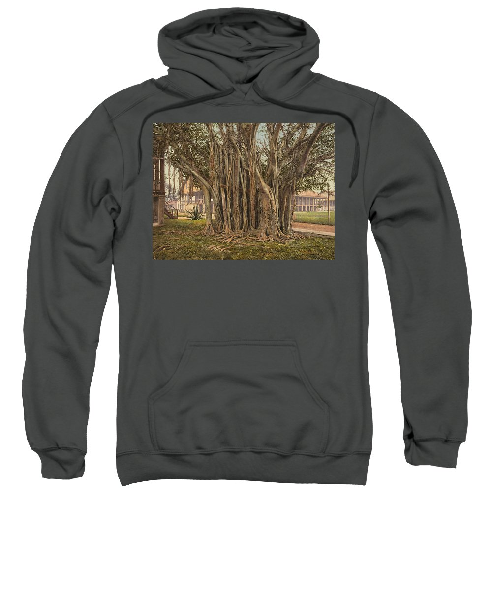 1890 Sweatshirt featuring the painting Florida Rubber Tree, C1900 by Granger