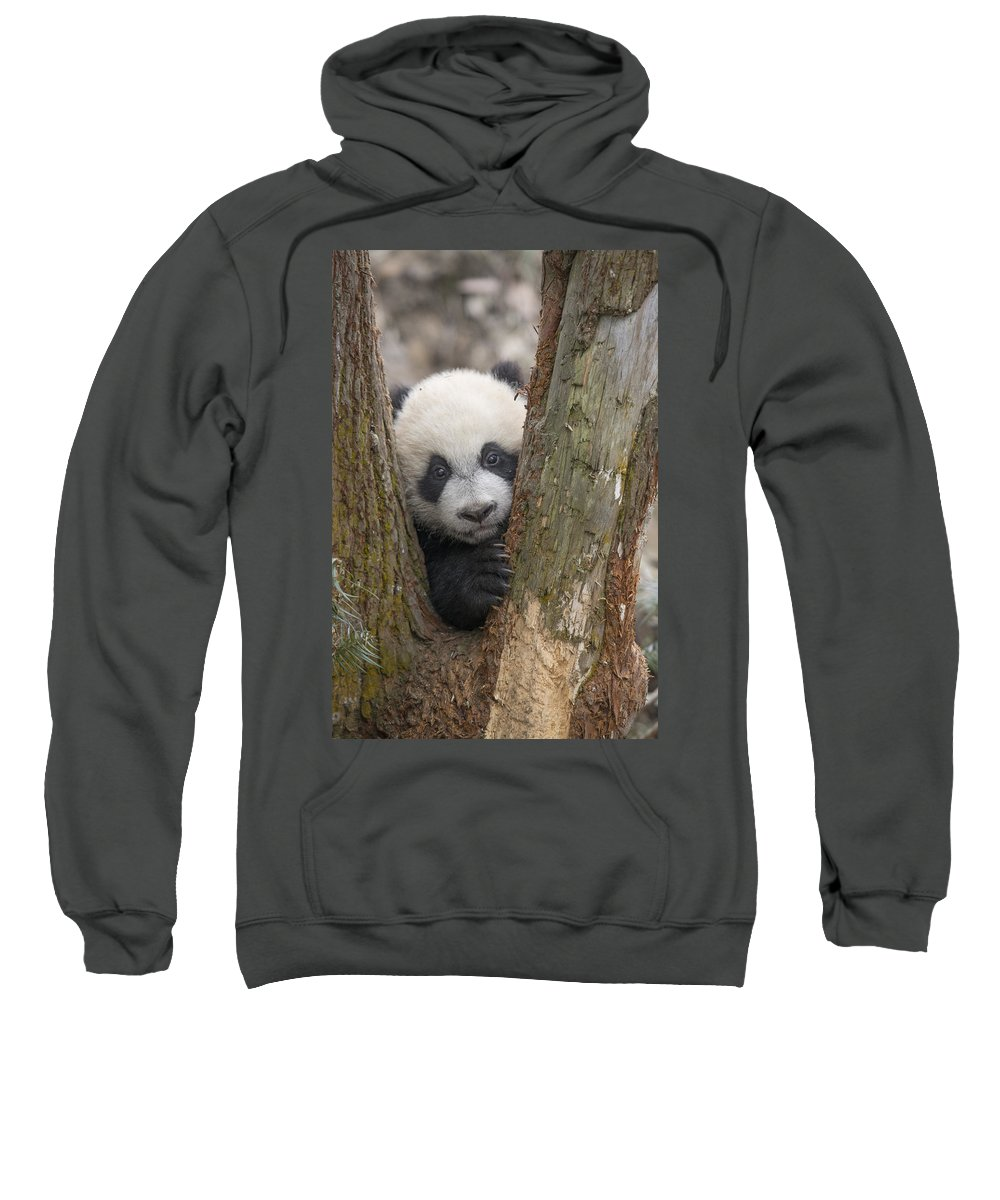 Katherine Feng Sweatshirt featuring the photograph Giant Panda Cub Bifengxia Panda Base by Katherine Feng