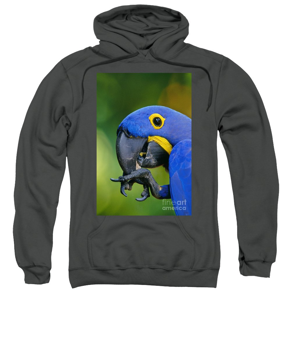 Animal Behavior Sweatshirt featuring the photograph Hyacinth Macaw Anodorhynchus by Frans Lanting MINT Images
