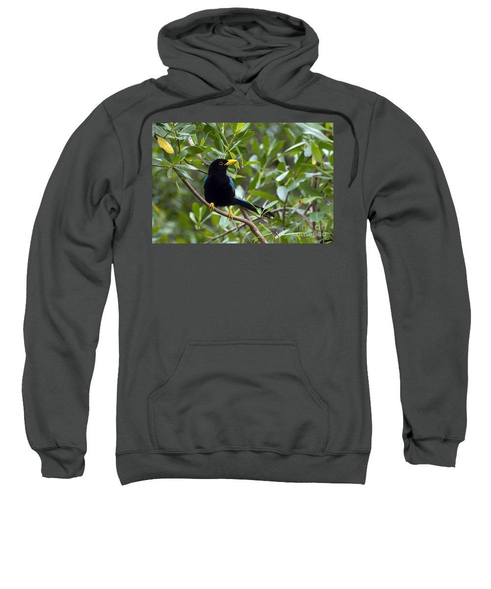 Bird Sweatshirt featuring the photograph Immature Yucatan Jay by Teresa Zieba