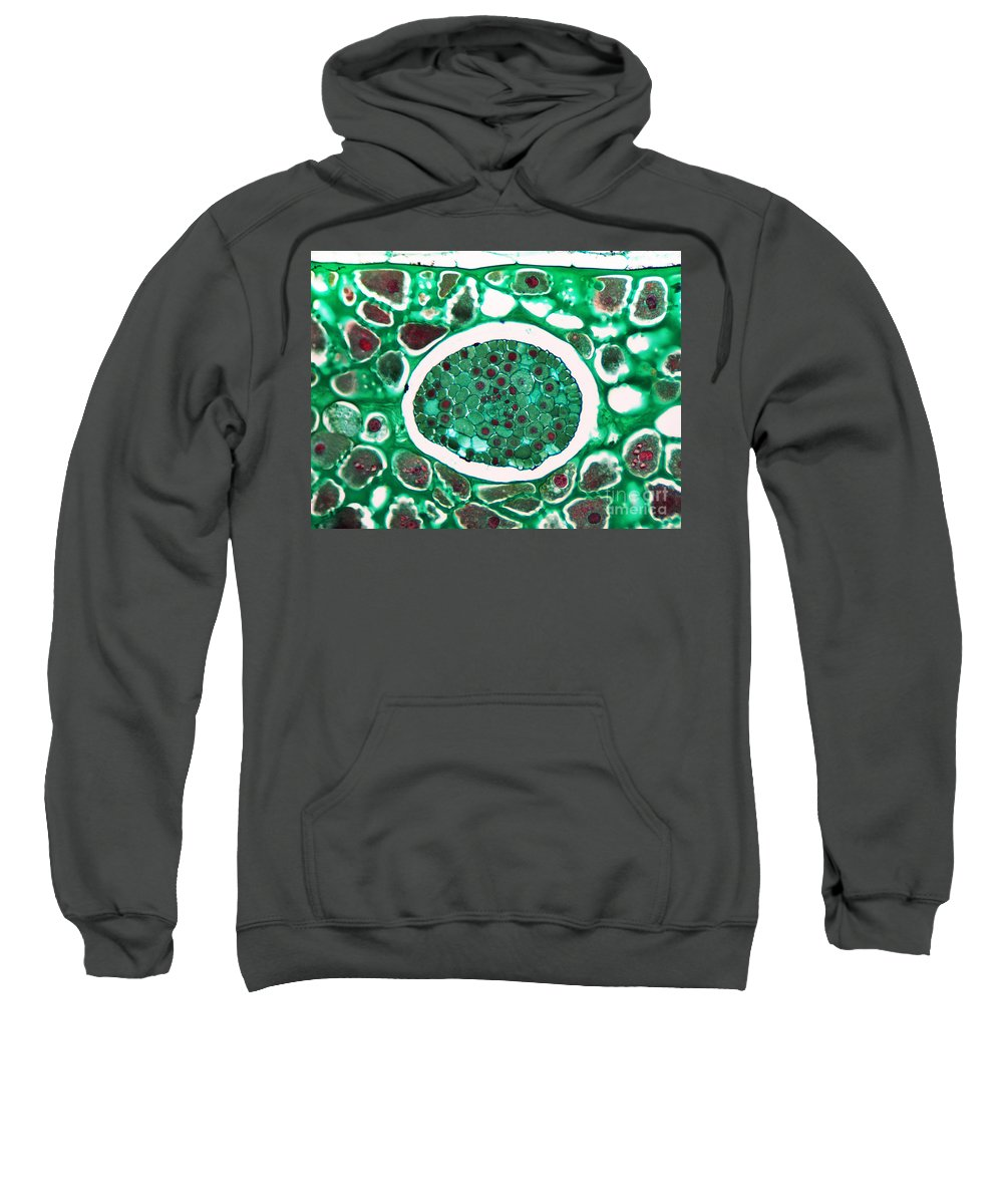 Science Sweatshirt featuring the photograph Lily Seed Embryo, Lm by Garry DeLong