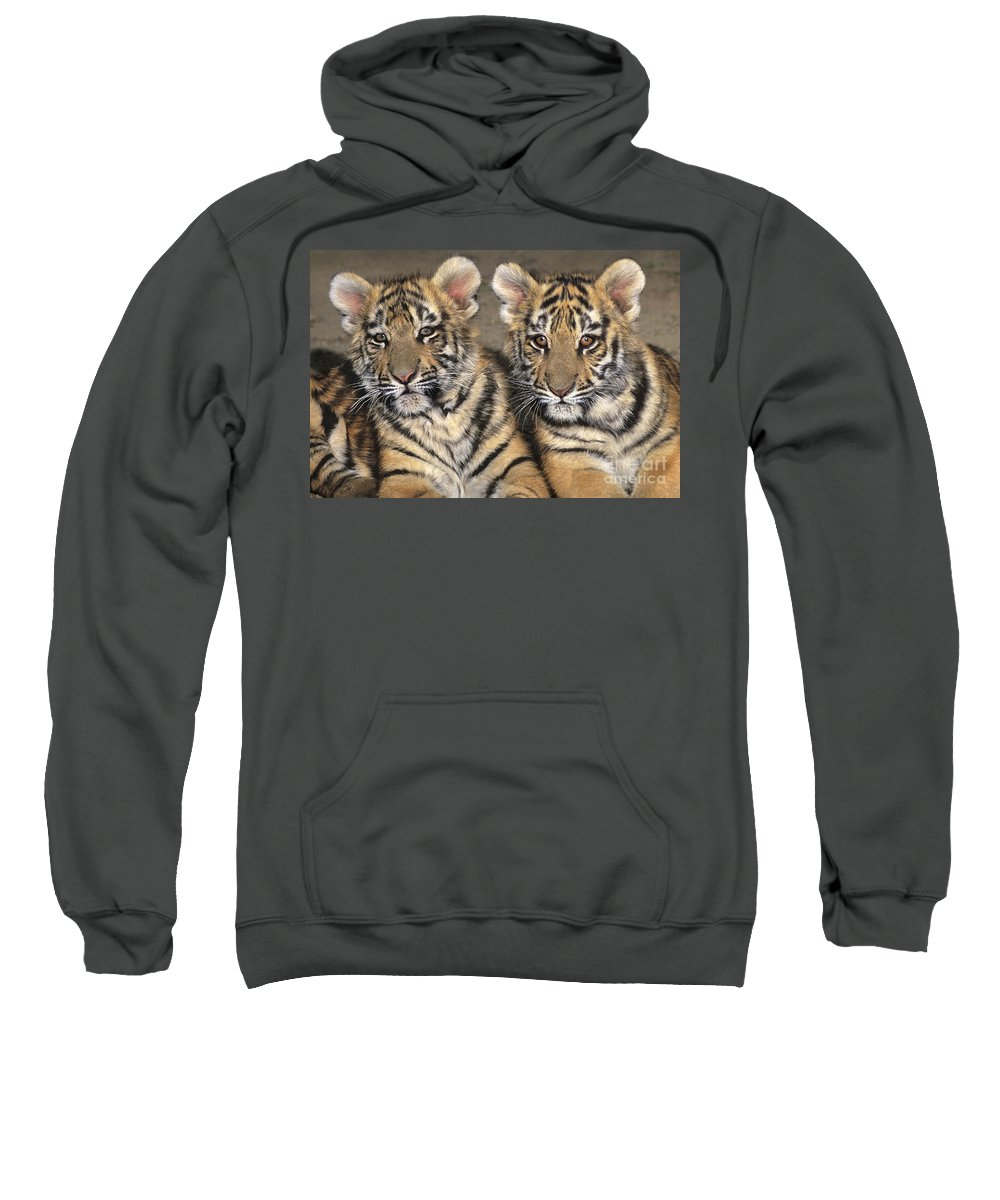 Bengal Tigers Sweatshirt featuring the photograph Little Angels Bengal Tigers Endangered Wildlife Rescue by Dave Welling