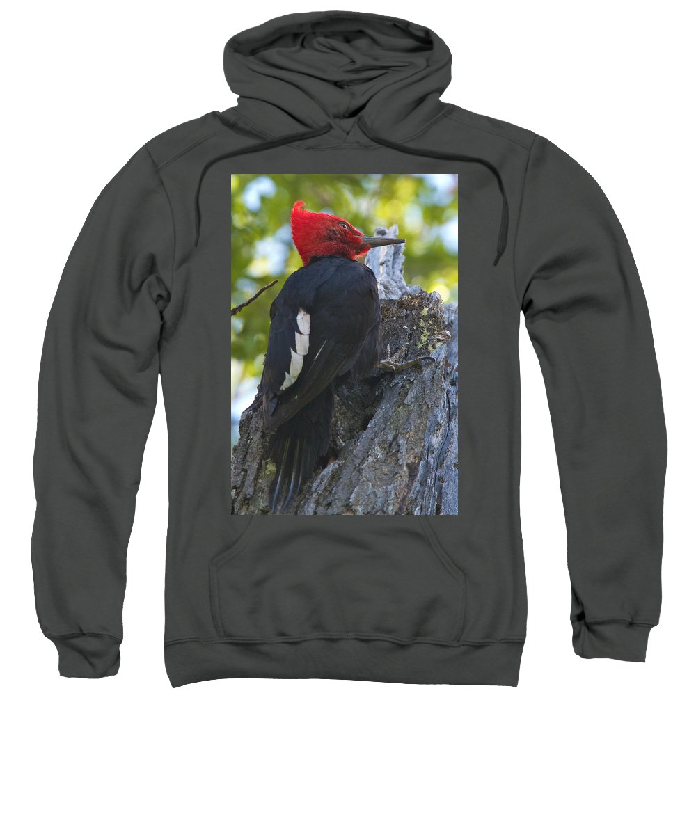 Chile Sweatshirt featuring the photograph Magellanic Woodpecker by David and Patricia Beebe