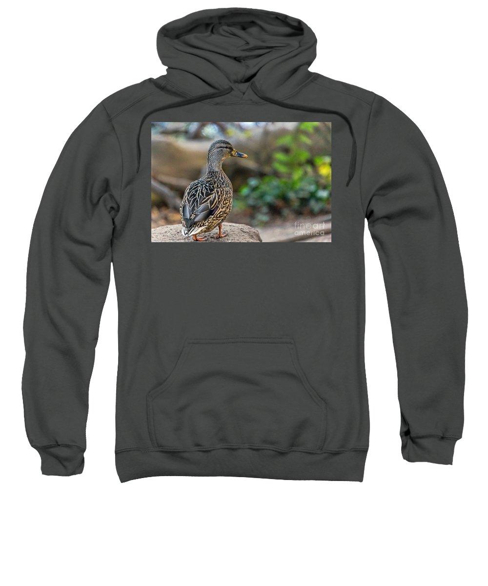 Anas Platyrhynchos Sweatshirt featuring the photograph Mallard Hen Observing by Kate Brown