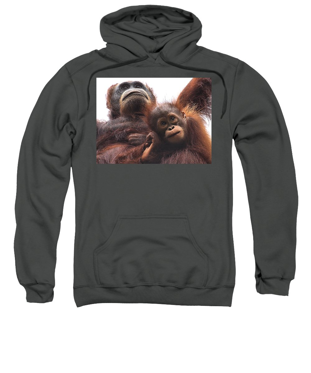 Orangutan Sweatshirt featuring the photograph Mother And Baby Orangutan Borneo by Carole-Anne Fooks