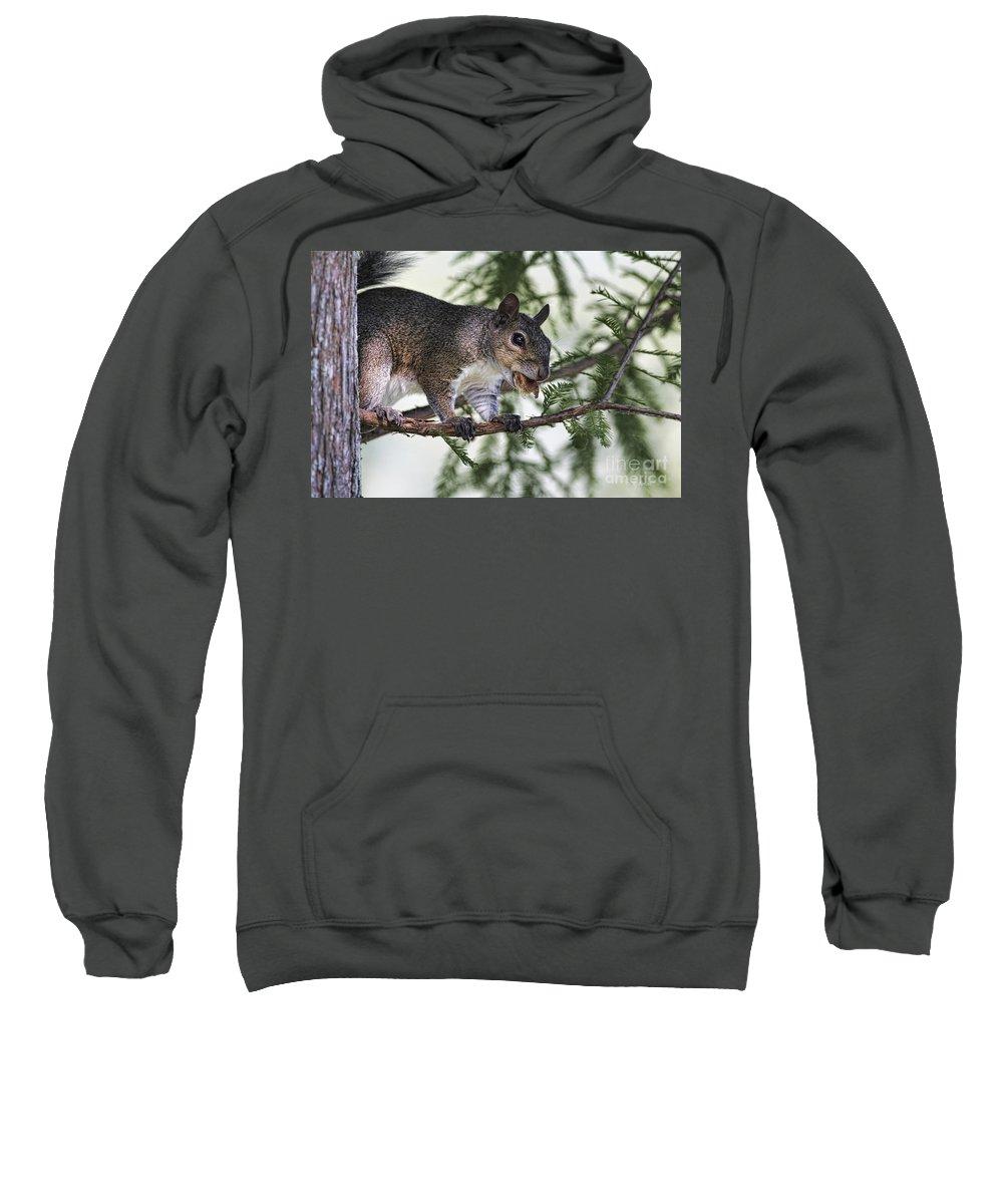 Squirrel Sweatshirt featuring the photograph Ok You Caught Me by Deborah Benoit