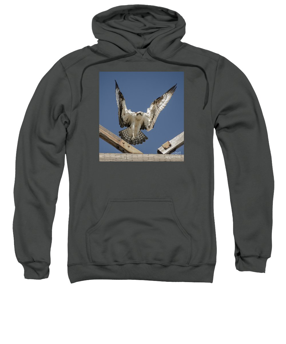 Osprey Sweatshirt featuring the photograph Osprey Landing by Dale Powell