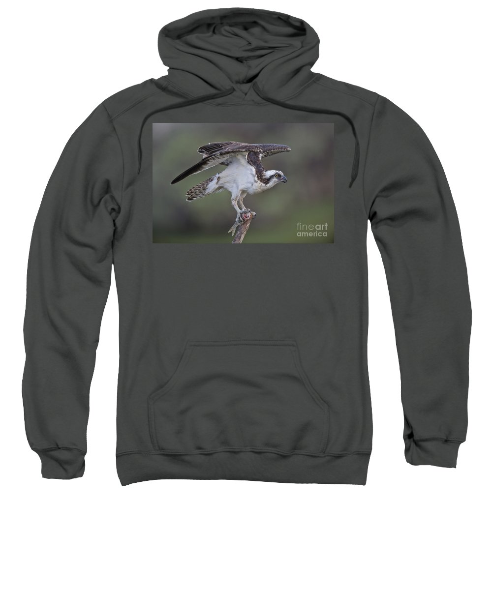 Osprey Sweatshirt featuring the photograph Osprey With Fish by Anthony Mercieca