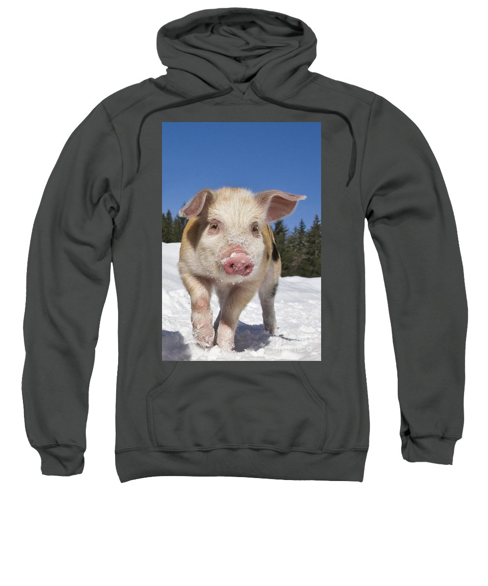Piglet Sweatshirt featuring the photograph Piglet Walking In The Snow by Jean-Louis Klein and Marie-Luce Hubert