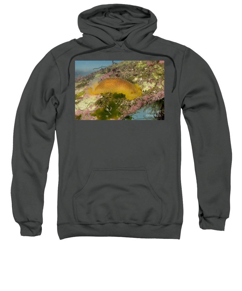 White-spotted Nudibranch Sweatshirt featuring the photograph Porostome Nudibranch by Anthony Mercieca