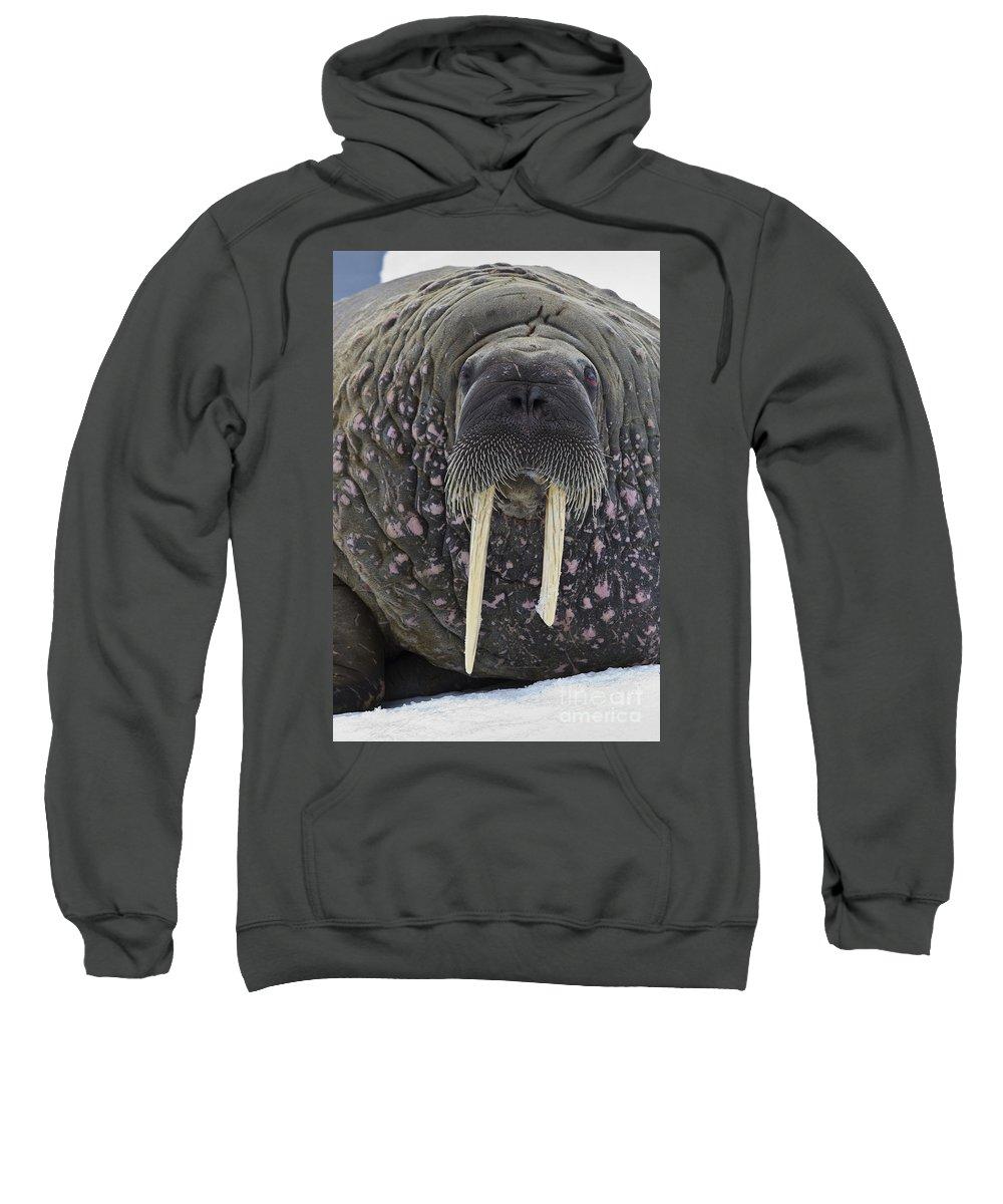 Atlantic Walrus Sweatshirt featuring the photograph Portrait Of A Walrus by Jean-Louis Klein and Marie-Luce Hubert