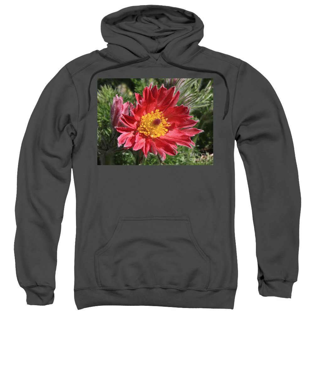 Red Pasque Flower Sweatshirt featuring the photograph Red Pasque Flower by Carol Groenen
