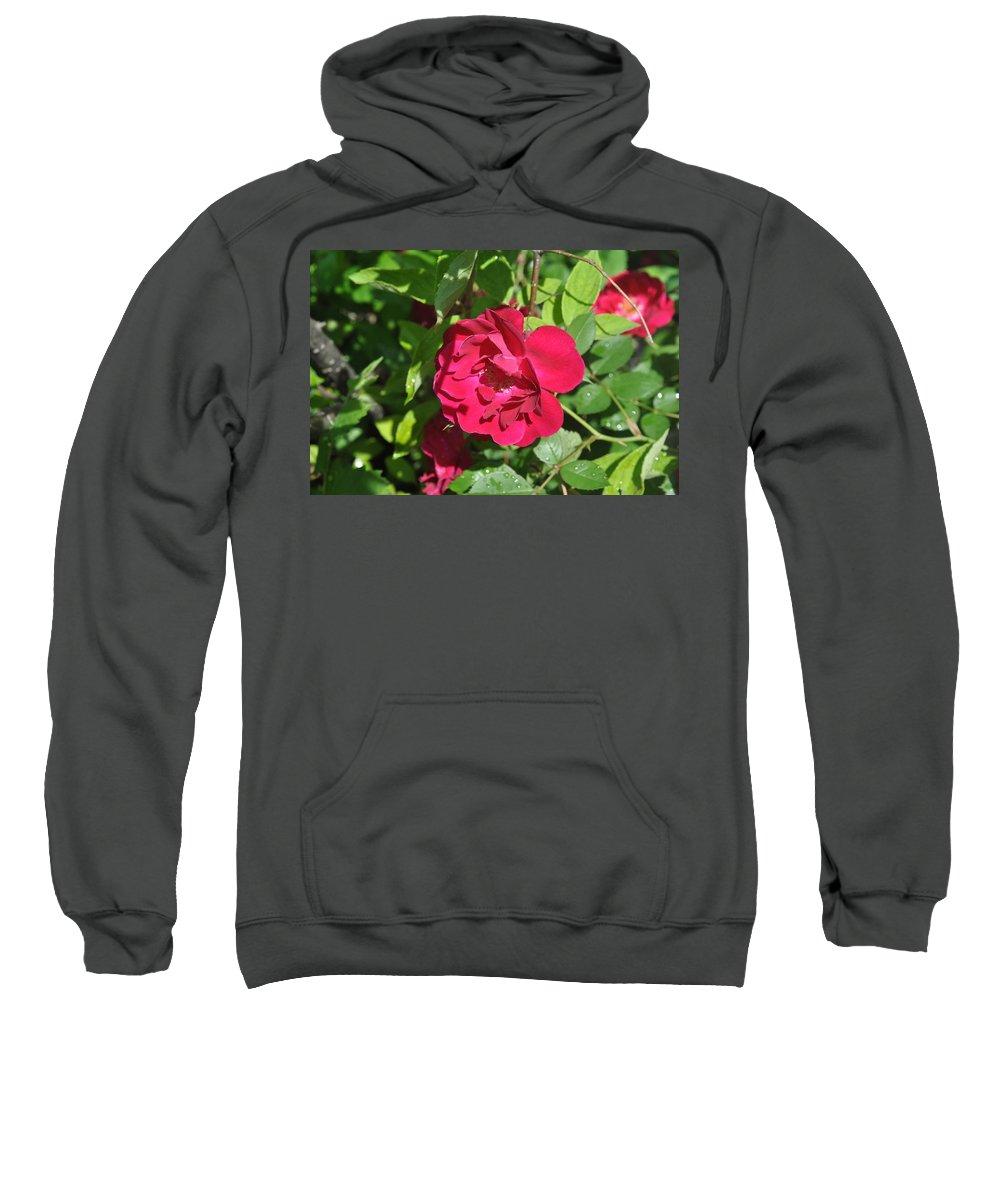 Rose Sweatshirt featuring the photograph Rose On The Vine by Verana Stark