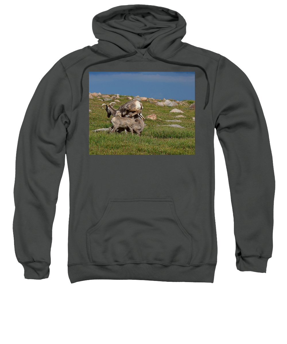 Bighorn Sheep Canvas Print Sweatshirt featuring the photograph Snack Times' Over by Jim Garrison