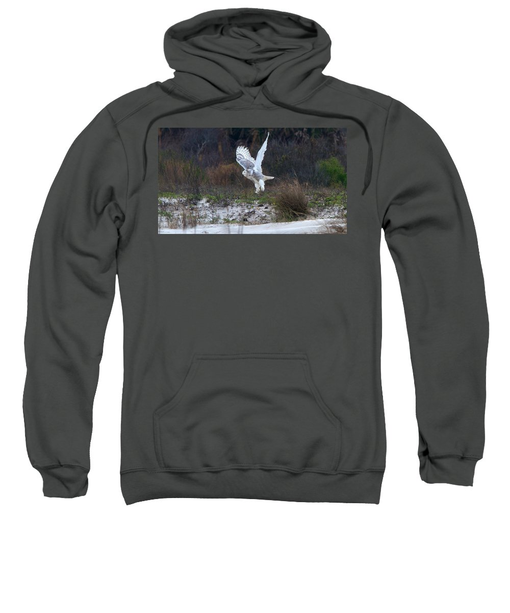 Snowy Owl Sweatshirt featuring the photograph Snowy Owl In Florida 10 by David Beebe