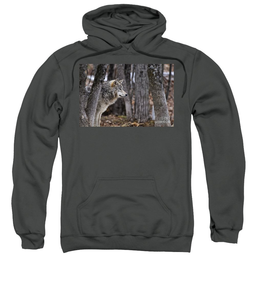 Timber Wolf Sweatshirt featuring the photograph Timber Wolf Pictures 203 by World Wildlife Photography