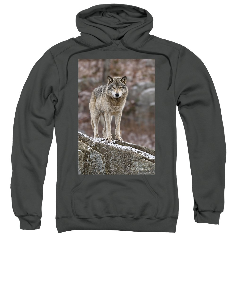 Timber Wolf Sweatshirt featuring the photograph Timber Wolf Pictures 495 by World Wildlife Photography