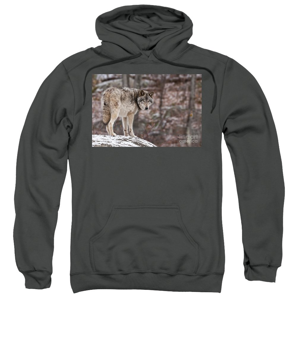 Timber Wolf Sweatshirt featuring the photograph Timber Wolf Pictures 498 by World Wildlife Photography