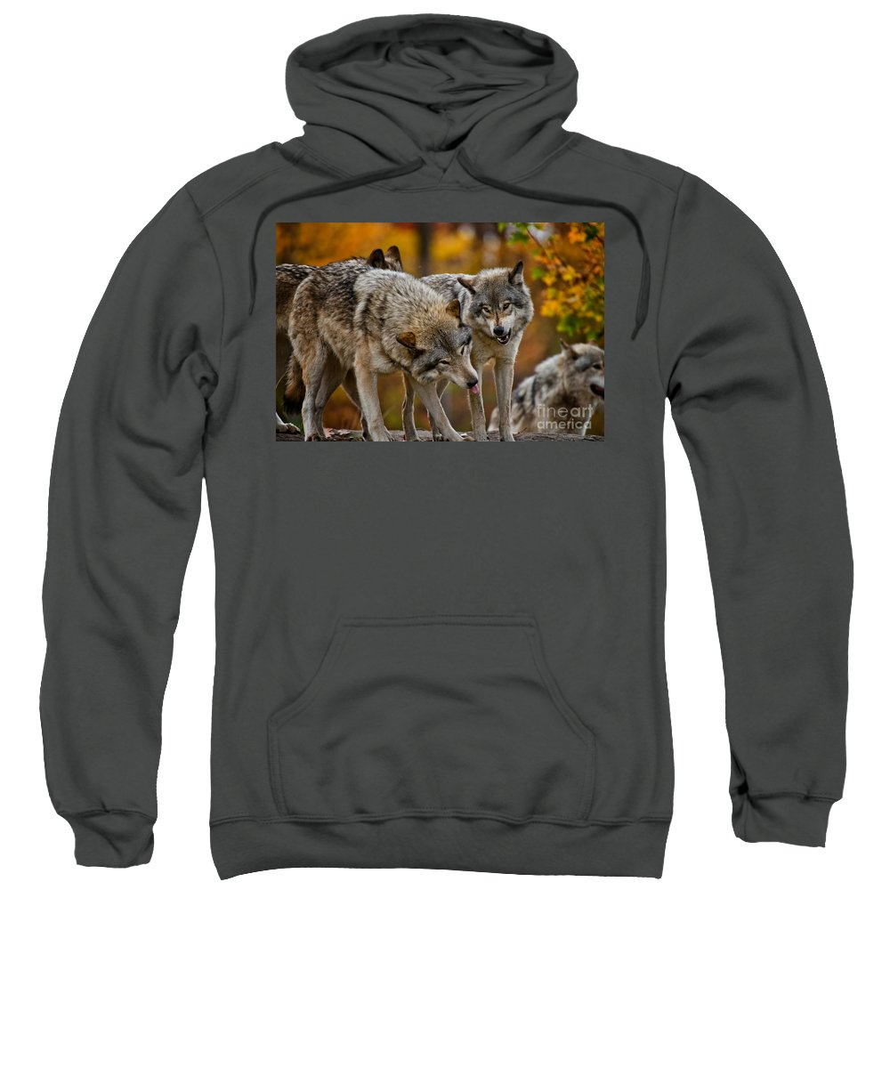 Timber Wolf Sweatshirt featuring the photograph Timber Wolf Pictures 62 by Wolves Only