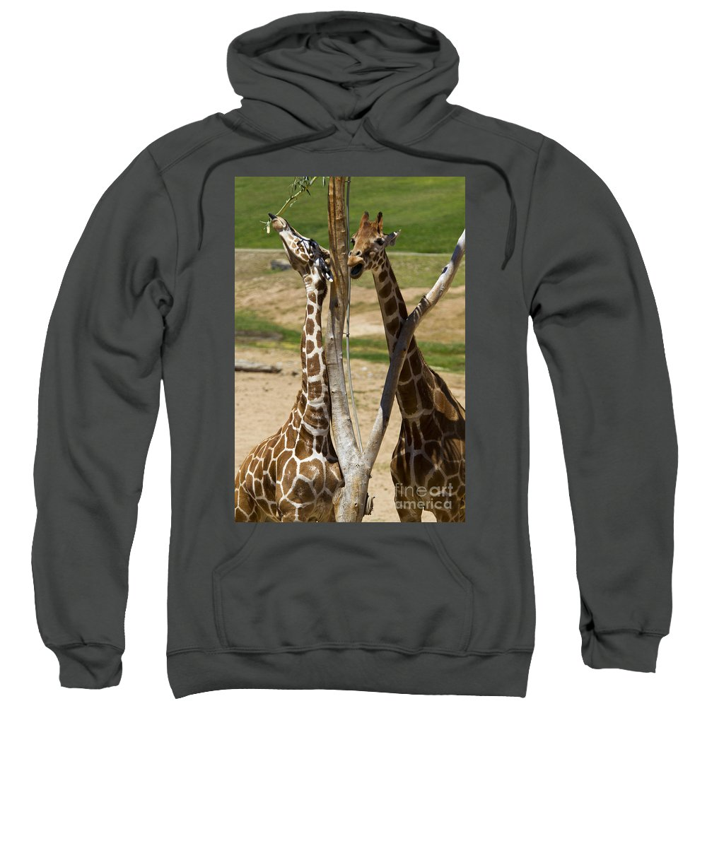 Travel Sweatshirt featuring the photograph Two Reticulated Giraffes - Giraffa Camelopardalis by Jason O Watson