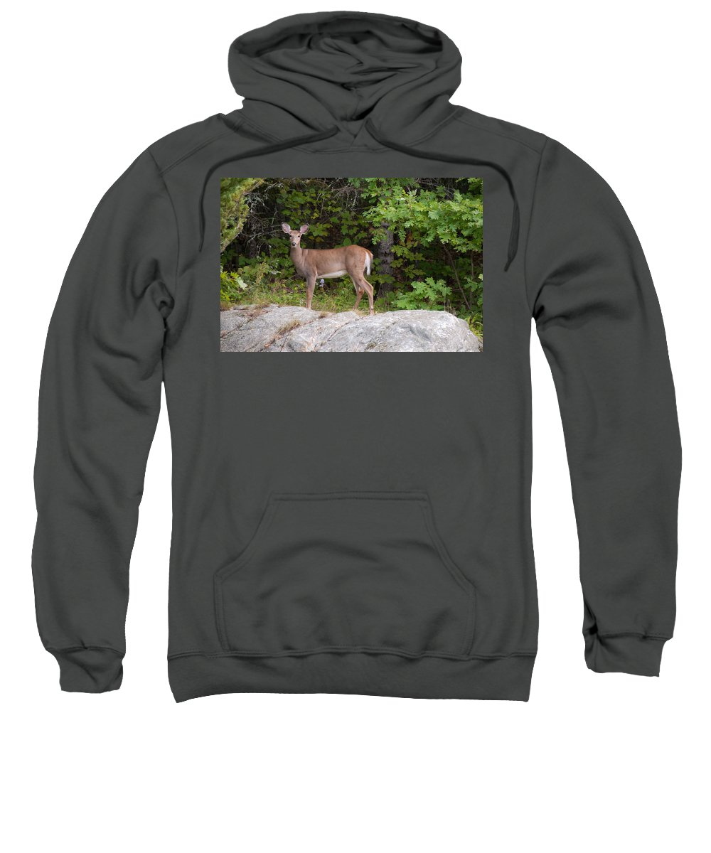 Deer Sweatshirt featuring the photograph White Tailed Deer by Brenda Jacobs
