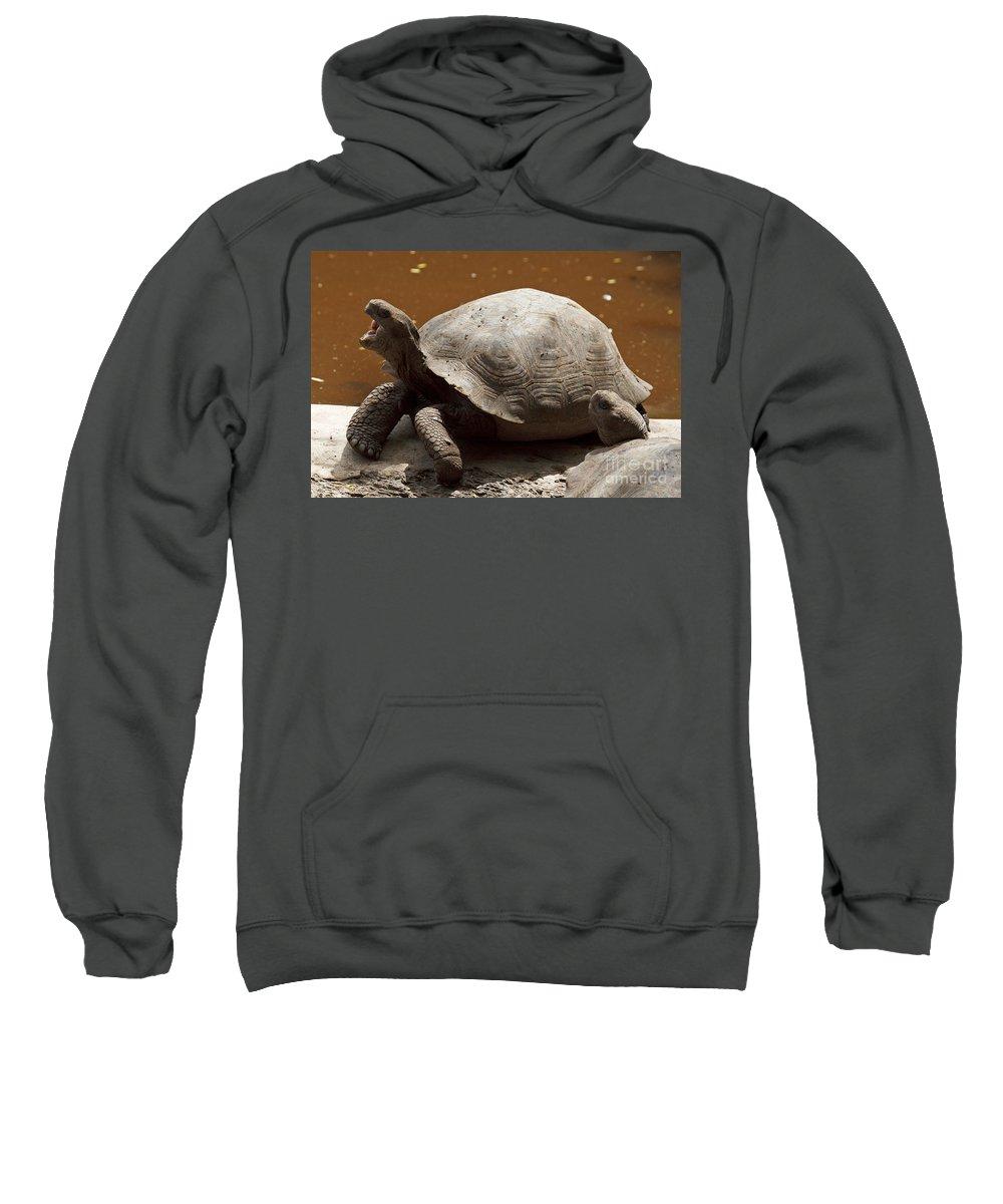 Galapagos Giant Tortoise Sweatshirt featuring the photograph yawning juvenile Galapagos Giant Tortoise by Jason O Watson