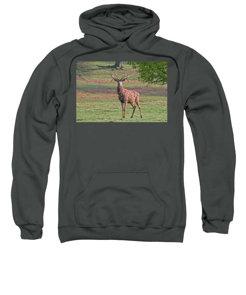 Red Deer Sweatshirt featuring the photograph Young Stag by Scott Carruthers