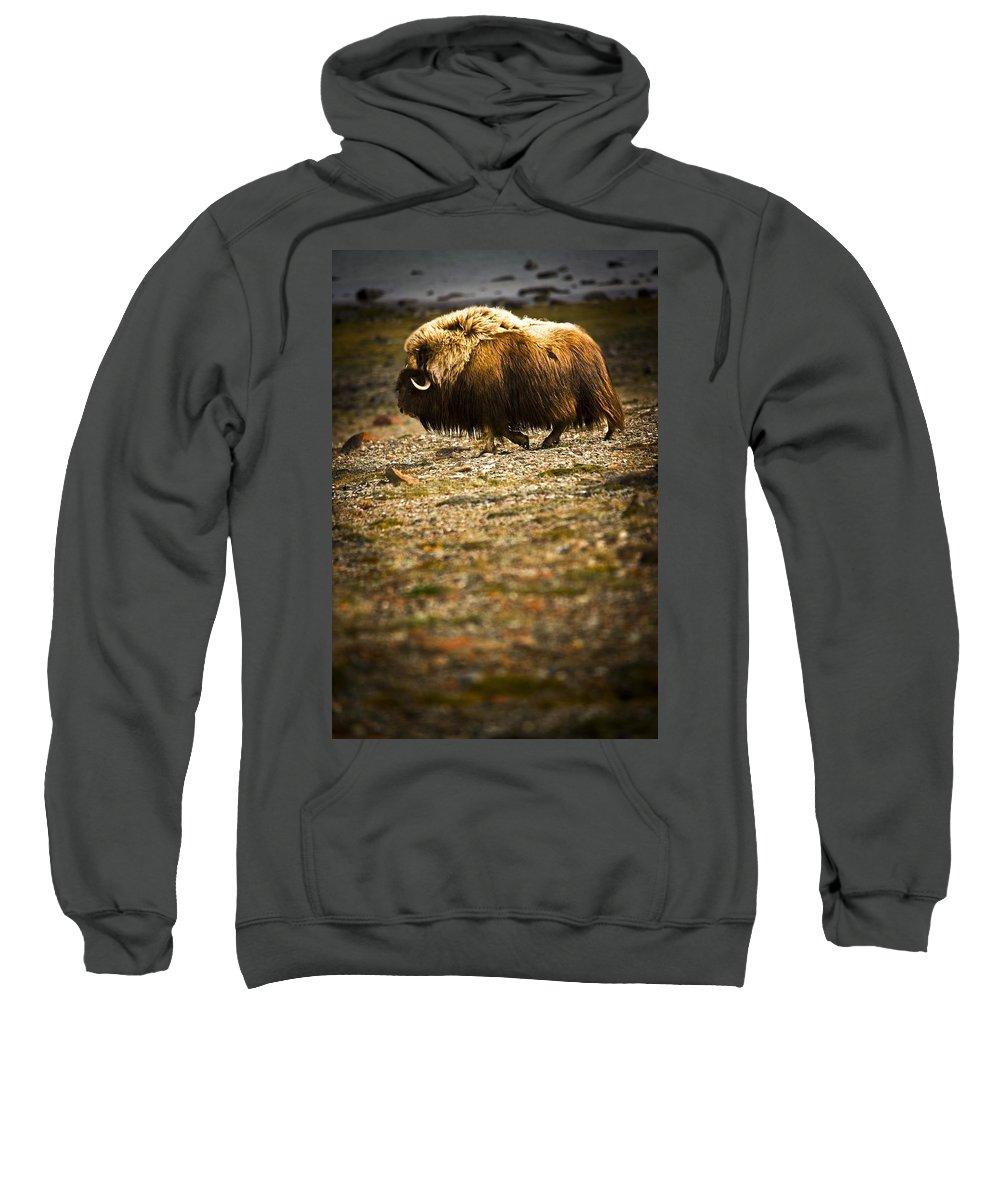 Animals Sweatshirt featuring the photograph Muskox Ovibos Moschatusin The Northwest by Darren Greenwood