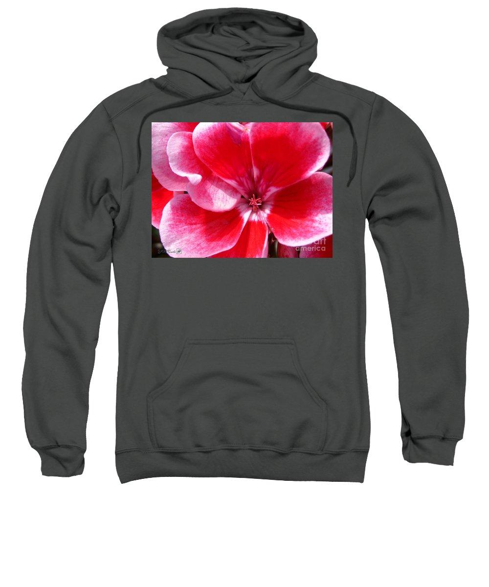 Zonal Geranium Sweatshirt featuring the photograph Zonal Geranium Named Candy Fantasy Kiss by J McCombie